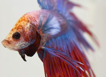 close-up picture of the face of a betta fish