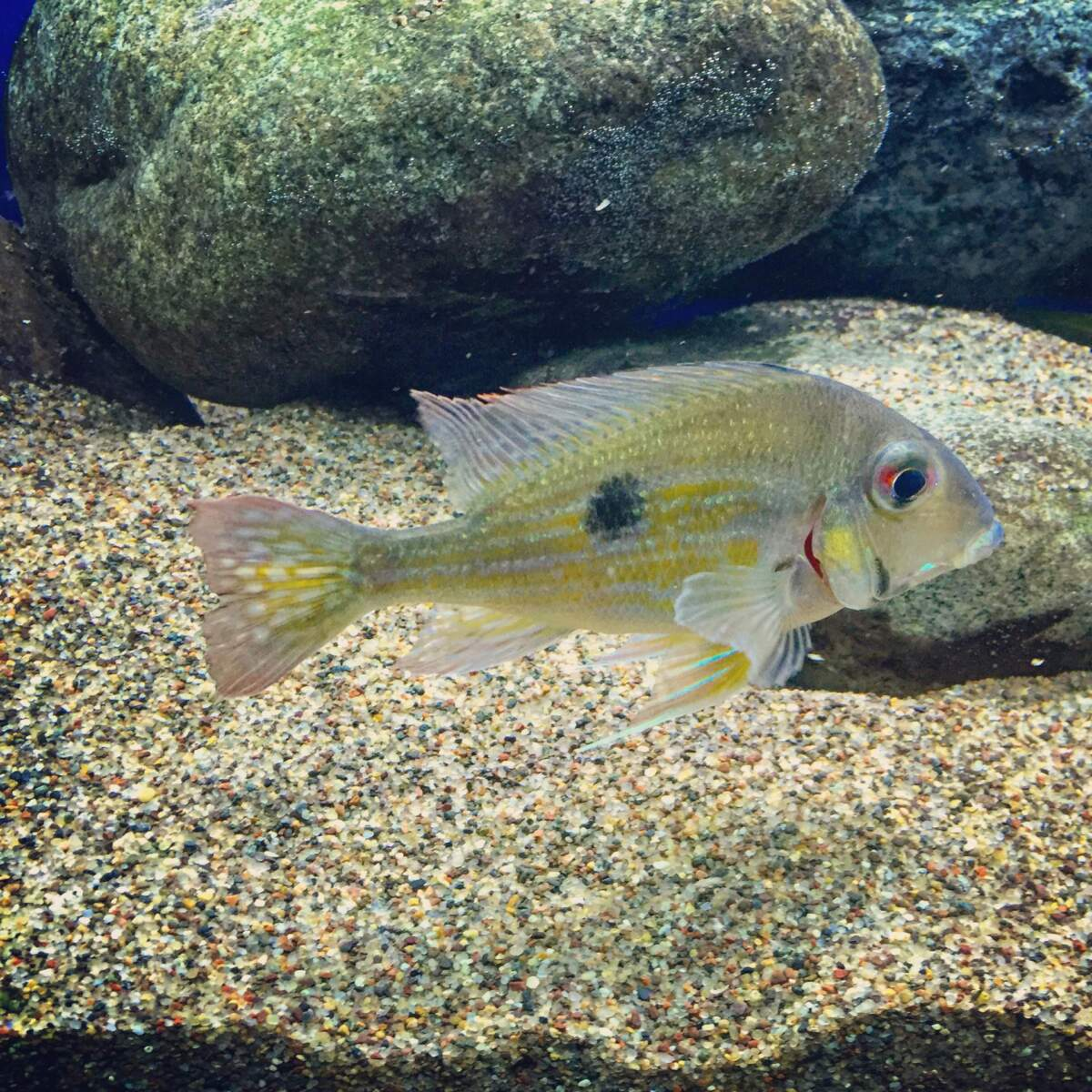 image of a stripetail fish inside of an aquarium