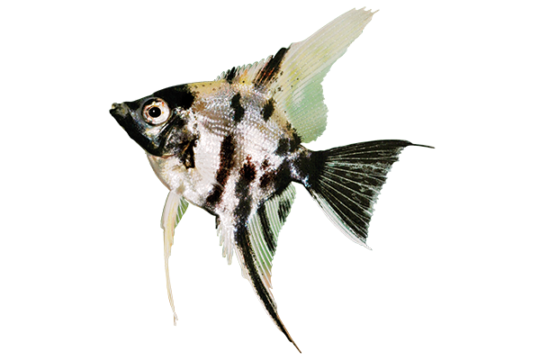 silver and black angelfish