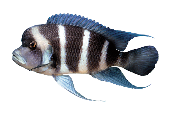 blue, white, and black African rift cichlid