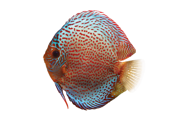 spotted discus fish
